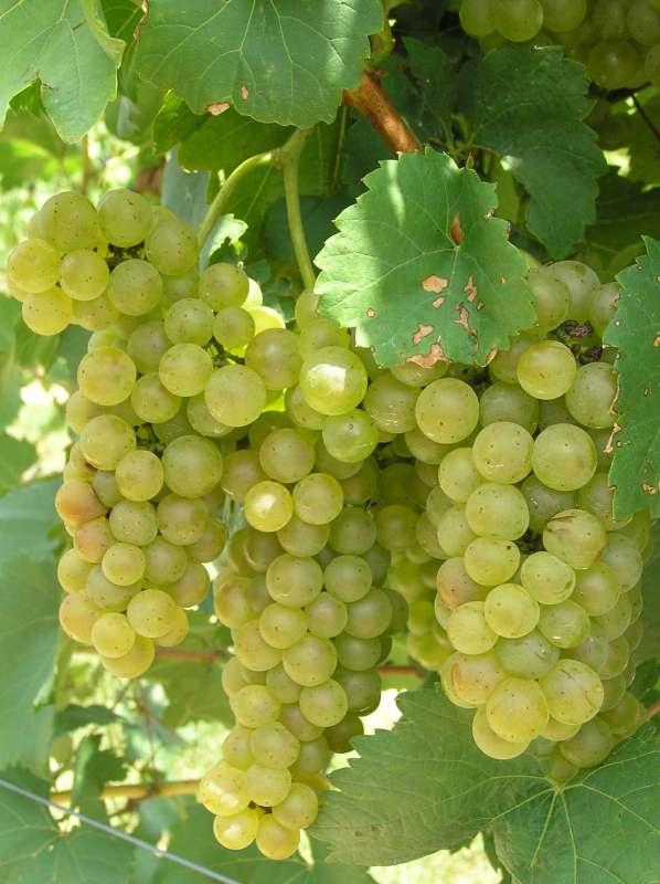 grozde 2