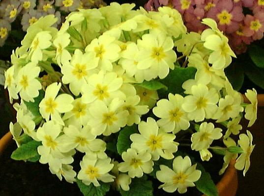 primrose-yellow