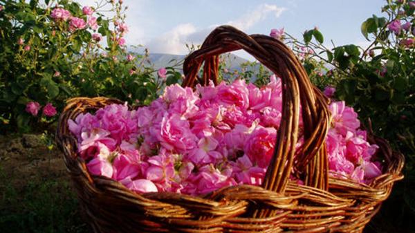 roza kazanlyk 1
